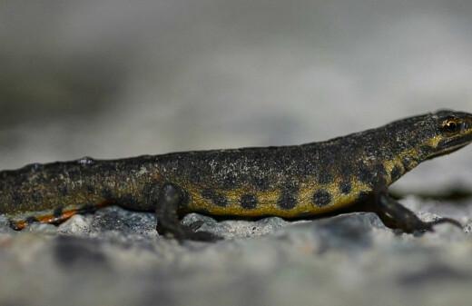 Mange på salamanderjakt