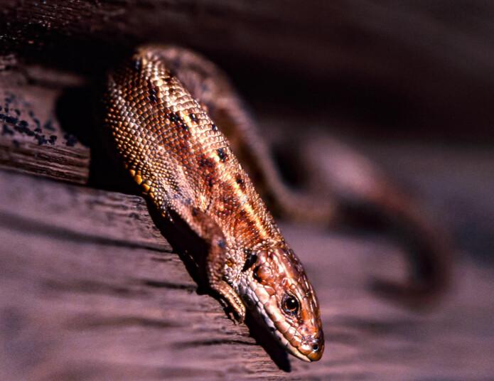 Mange lesere tror de har funnet salamander, men bildene de sender viser at det er firfisle de har funnet.