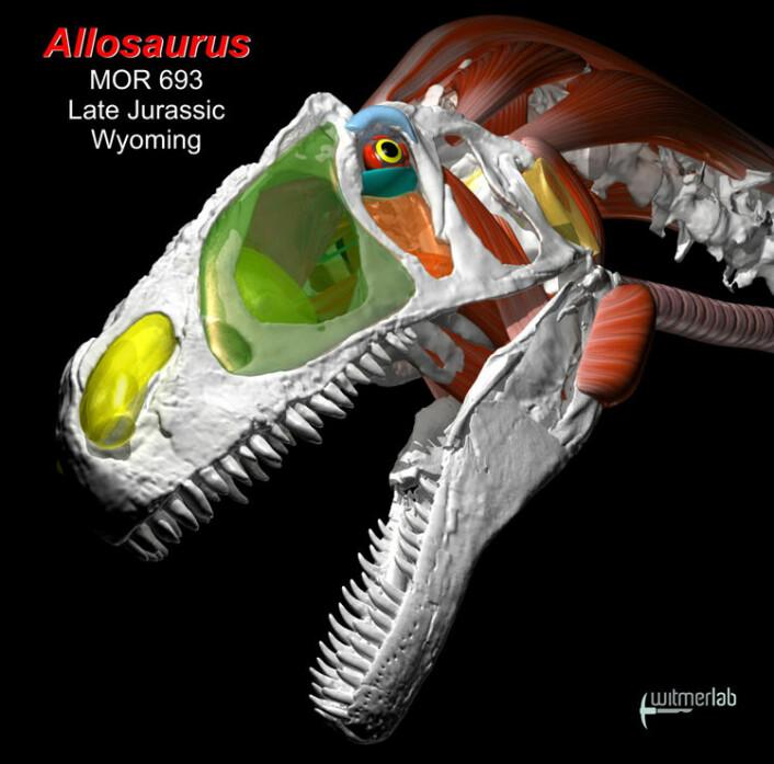 Hodet til Allosaurus er gjenskapt i stor detaljrikdom, med muskler og organer. (Foto: (Illustrasjon: WitmerLab ved Ohio University))