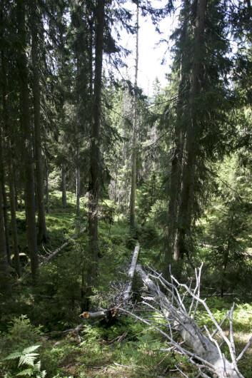 2 059 kvadratkilometer, eller 2,4 prosent av det produktive skogarealet omfattes av vern. Bildet viser læger, liggende dødved i det som het Ormtjernkampen nasjonalpark og som i dag heter Langsua nasjonalpark. (Foto: John Y. Larsson / Skog og landskap)