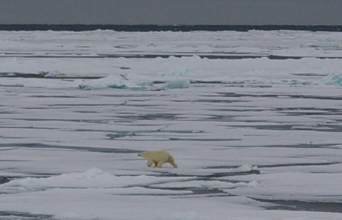 """""""Isbjørn på Svalbard, Framstredet. (Foto: Bjørnar Kjensli)"""""""