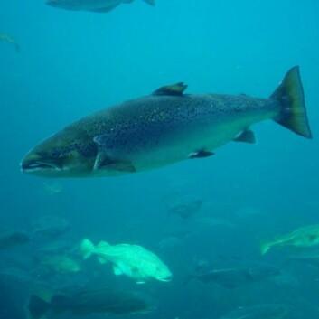 Atlantisk laks. Bildet er tatt i Atlanterhavsparken i Ålesund. (Foto: Hans-Petter Fjeld / Wikimedia Commons, se lisens her)
