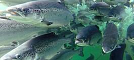 Laksen har høy svømmekapasitet – også til havs