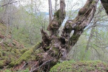 De fleste av de gamle almene som i sommer er undersøkt på vestlandet er påvirket av hjort som har gnagd av bark. Mange av trærne kommer til å dø av skadene. (Foto: Foto John-Bjarne Jordal)