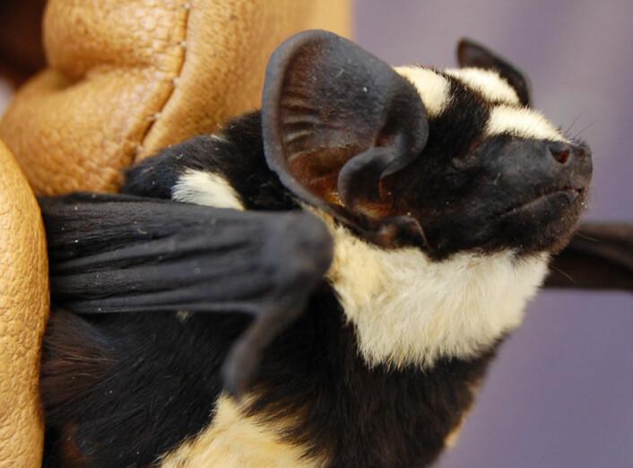 Vesle Niumbaha superba er en helt spesiell flaggermusart med svarte og hvite tegninger. (Foto: DeeAnn Reeder, Bucknell University)