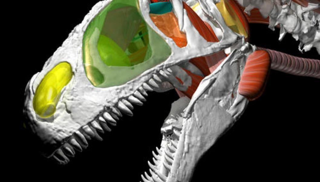 Allosaurus gjenskapt. (Illustrasjon: WitmerLab ved Ohio University)