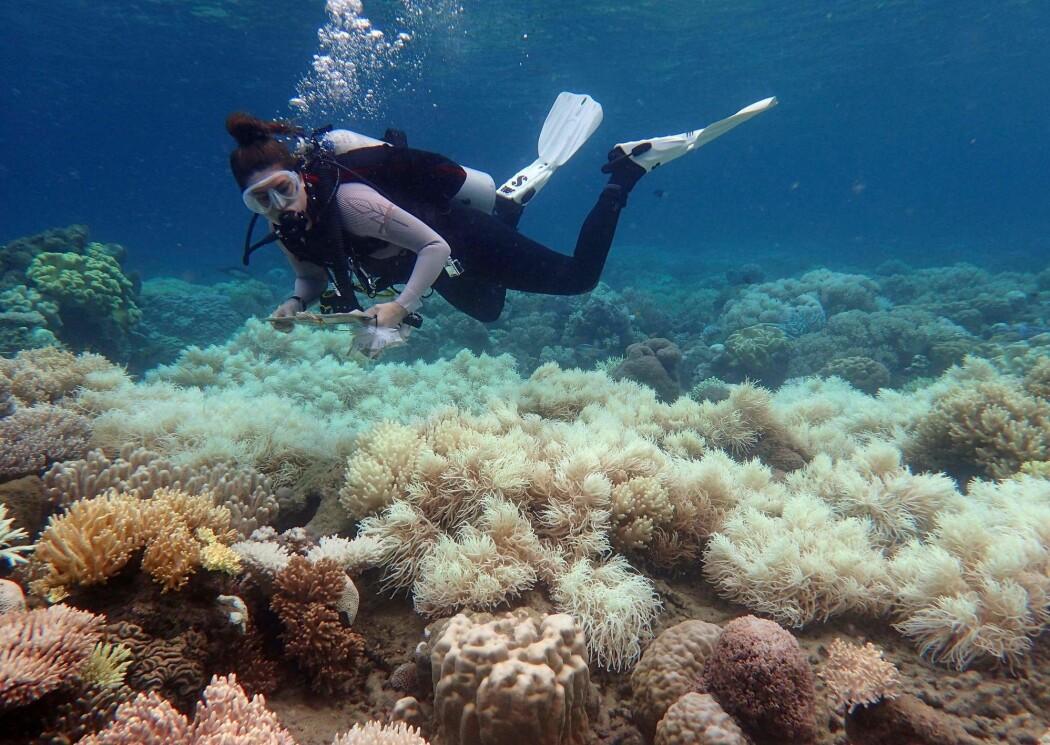 Samlet sett har Great Barrier Reef mistet rundt halvparten av korallene siden 1995, ifølge forskerne. Hovedårsaken er global oppvarming og stadig varmere havvann.