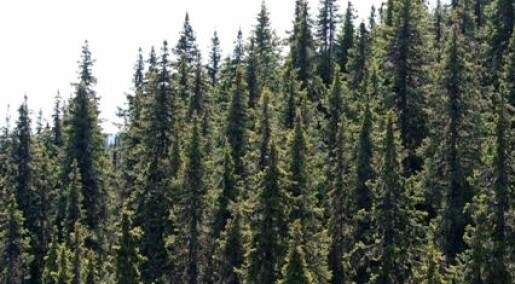 Bakgrunn: Trærne blir større og skogen blir tettere