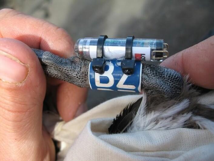Lysloggerstudiet av lomvi og polarlomvi gir helt ny informasjon om to av de mest tallrike sjøfuglartene vi har i norske farvann. (Foto: Erlend Lorentzen, Norsk Polarinstitutt)