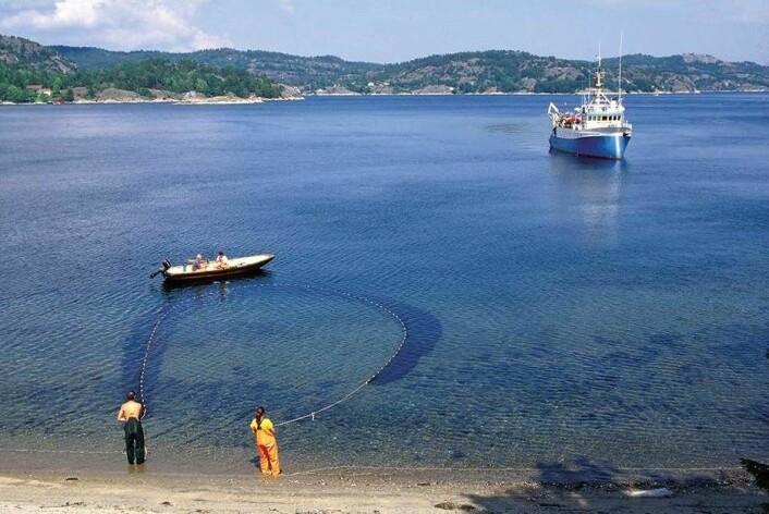 Torskeyngel blir telt i strandnottrekk. Det er når et nett legges i en halvsirkel ut fra stranda med småbåt, og trekkes så opp med håndkraft. (Foto: Havforskningsinstituttet)
