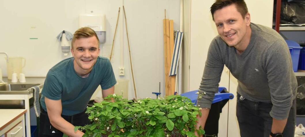 Disse jordbærene er Norges første genredigerte matplanter