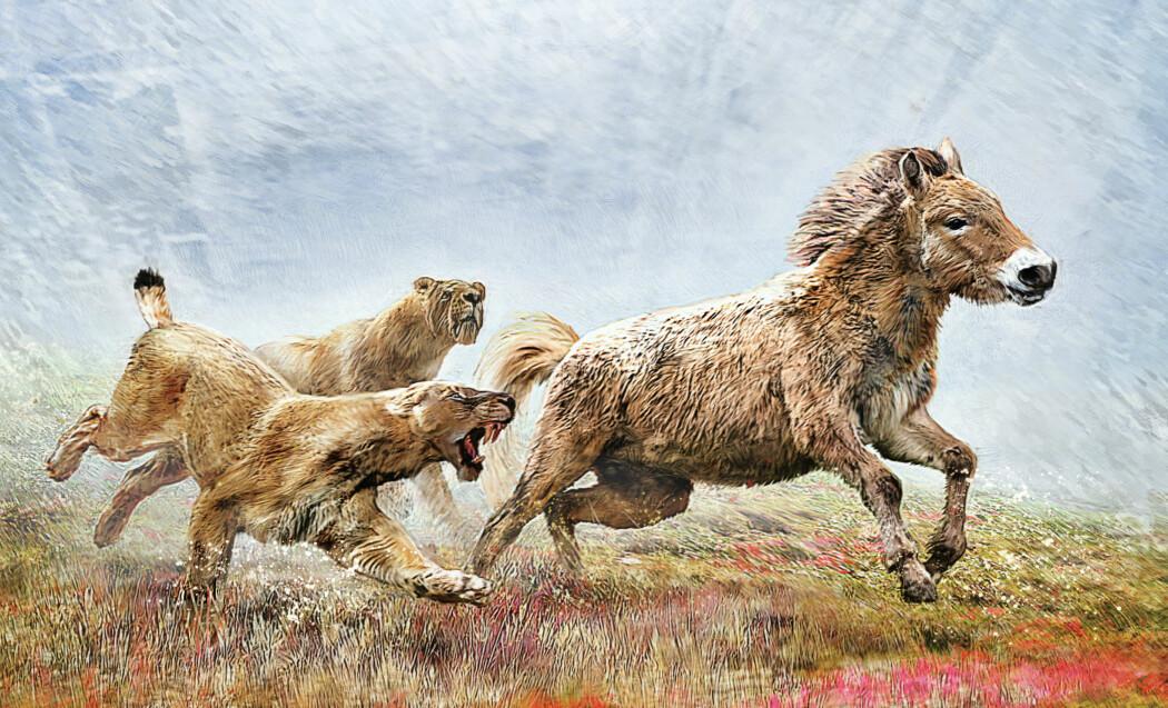 Kanskje jaktet den i flokk? Slik ser en kunstner for seg sabeltannkatten Homotherium Latidens, som de danske forskerne har studert.