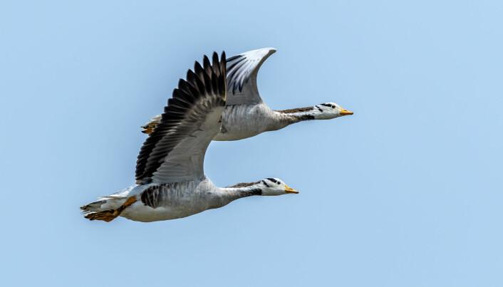 Mens lappspoven har verdensrekord i distanse, flyr stripegåsa usedvanlig høyt.