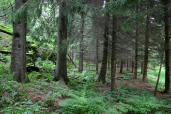 Beita lågurtskog med gran i Lønnalia i Larvik kommune i Vestfold. (Foto: John Y. Larsson/Skog og landskap)