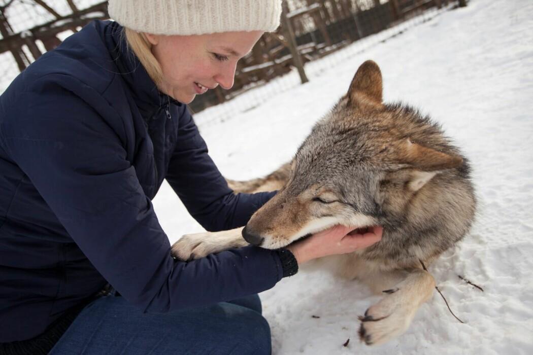 En gruppe ulver i Ungarn er godt vant med mennesker. En ny studie viser at de reagerte på samme måte som hunder da mennesket de kjente godt forsvant ut av syne i en fremmed situasjon.