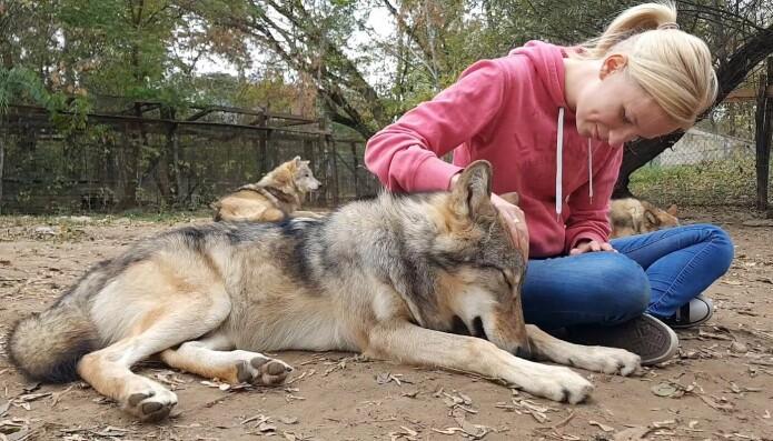 Ulvene hadde vokst opp sammen med mennesker. Her sammen med Rita Lenkei, en av forfatterne av studien.
