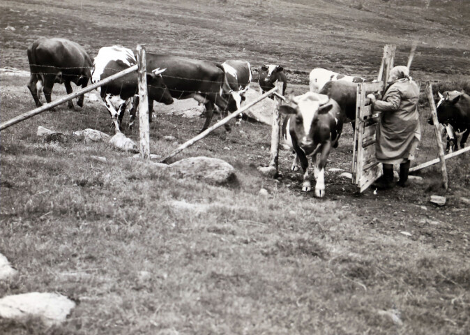 På setra Grasvika var det 14 mjølkekyr i 1969. Dei beitte i utmarka på dagen. Her er dei komne til seters for å bli mjølka om kvelden. I 2019 var mjølkeproduksjonen slutt.