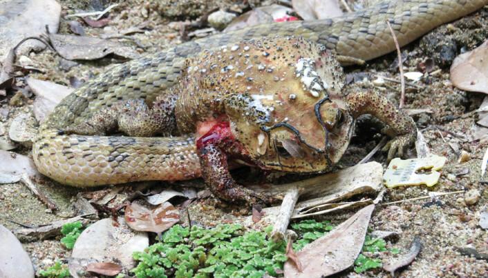 Makaber oppdagelse: Slanger graver seg inn i padder og spiser dem levende innefra