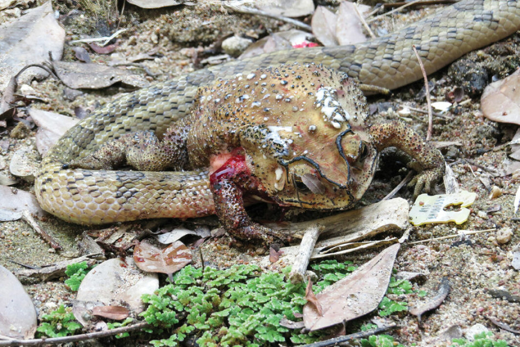 Kukrislangens brutale spisevaner er ikke for sarte sjeler.