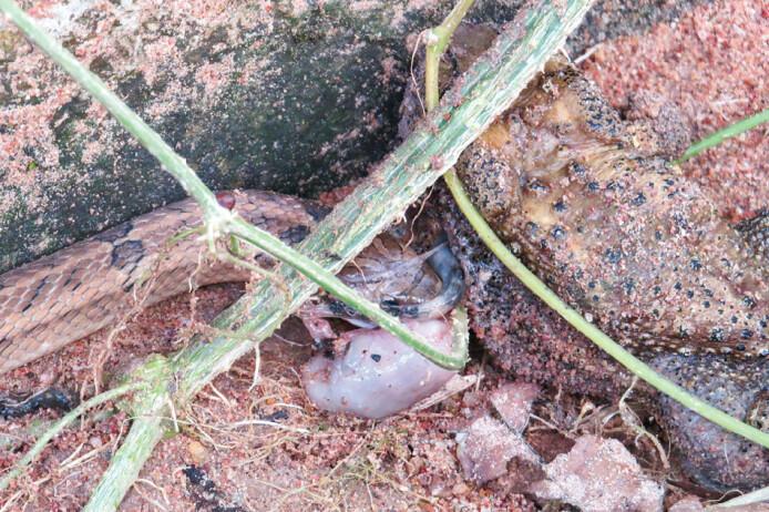 En kukrislange i ferd med å spise magesekken og tynntarmen som den har revet ut av en asiatisk padde.