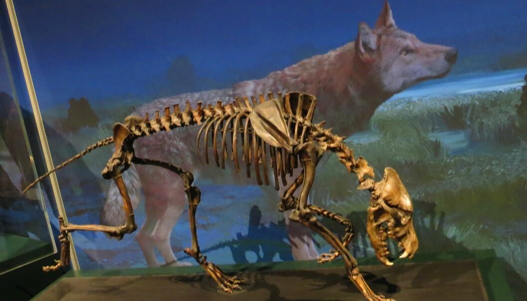 Skrekkulvene ble funnet nærmest intakt i tjærgroper i California. Her fra Naturhistorisk museum i Karlsruhe, Tyskland .