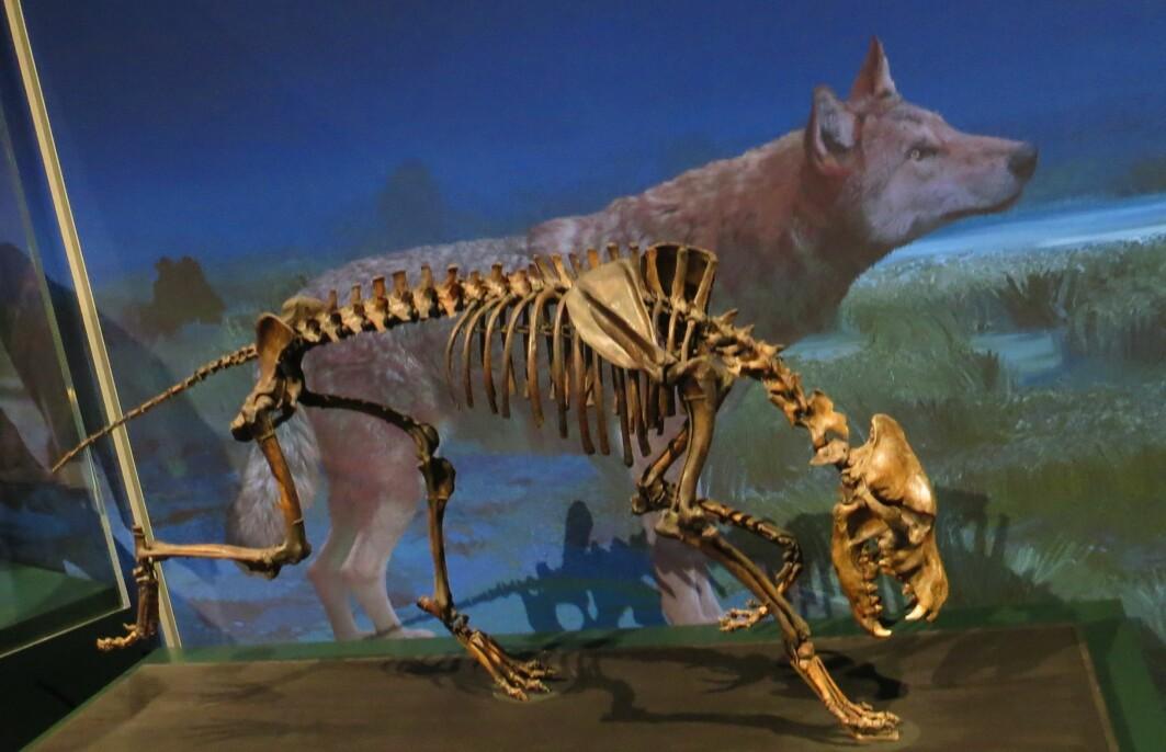 Arkeologer har funnet skjeletter av skrekkulver i tjæregroper i California, USA. Her er et skjelett som er utstilt på Naturhistorisk museum i Karlsruhe, Tyskland .