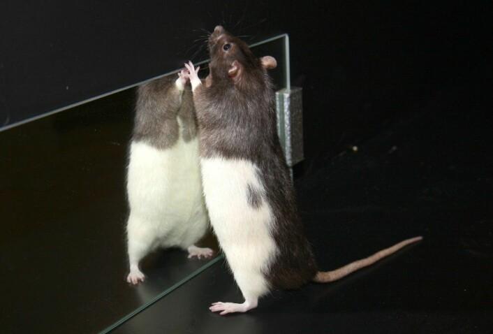 Ei av rottene som bidrar til å utvide vår forståelse av hjernen ved Moserlaboratoriet i Trondheim. (Foto: Raymond Skjerpeng, NTNU)