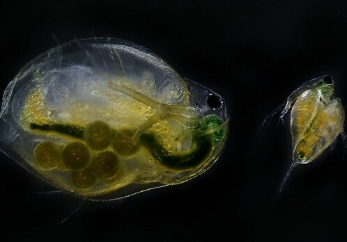 "Water fleas on ""happy pills"" have more offspring"