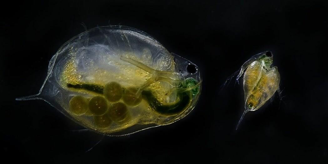 Vannloppene er småkreps som finnes i store mengder i nær all slags vann. De påvirkes av våre utslipp.