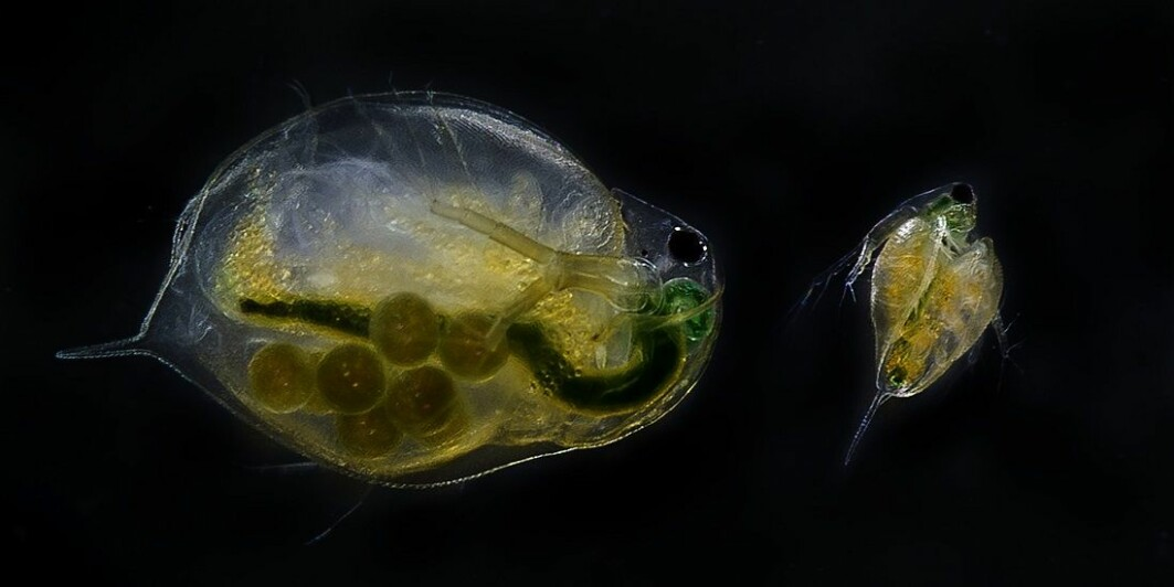 Water fleas are small zooplankton found in large numbers in almost all kinds of water. They are affected by chemicals and substances such as drug residues that can be found in processed wastewater.