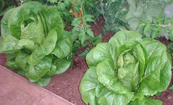 Når salaten er høstet og pakket, trenger den jevn og riktig temperatur om bakteriene skal holde seg unna. (Foto: Red58bill)