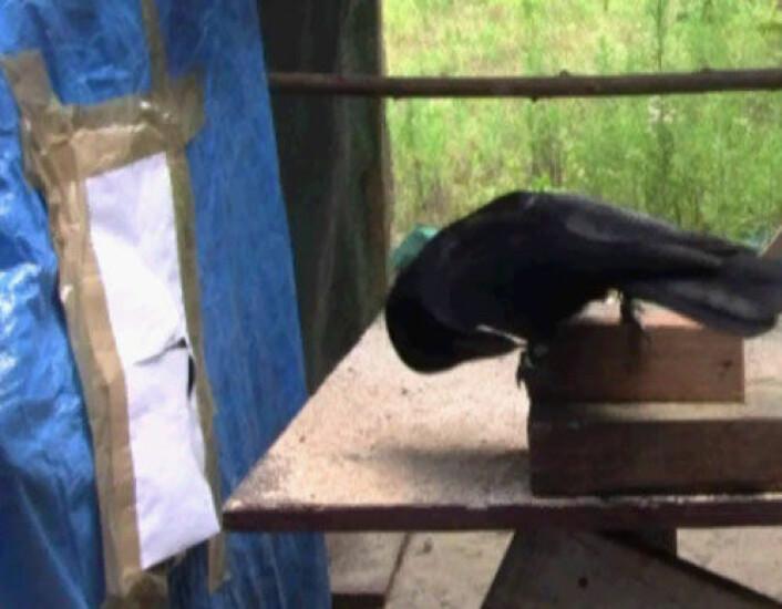 Bilde fra videoen forskerne tok av eksperimentet. (Foto: (Bilde fra video: University of Auckland))