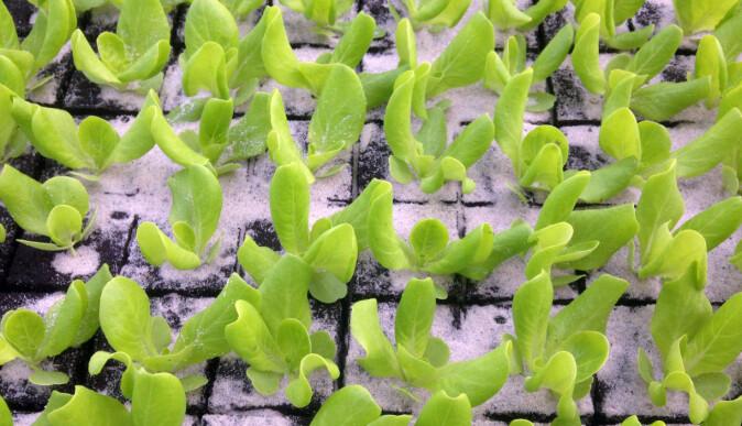 Mange grønnsakssorter, som salat, må forkultiveres før de kan plantes ut i åkeren. Til det trengs veksttorv.