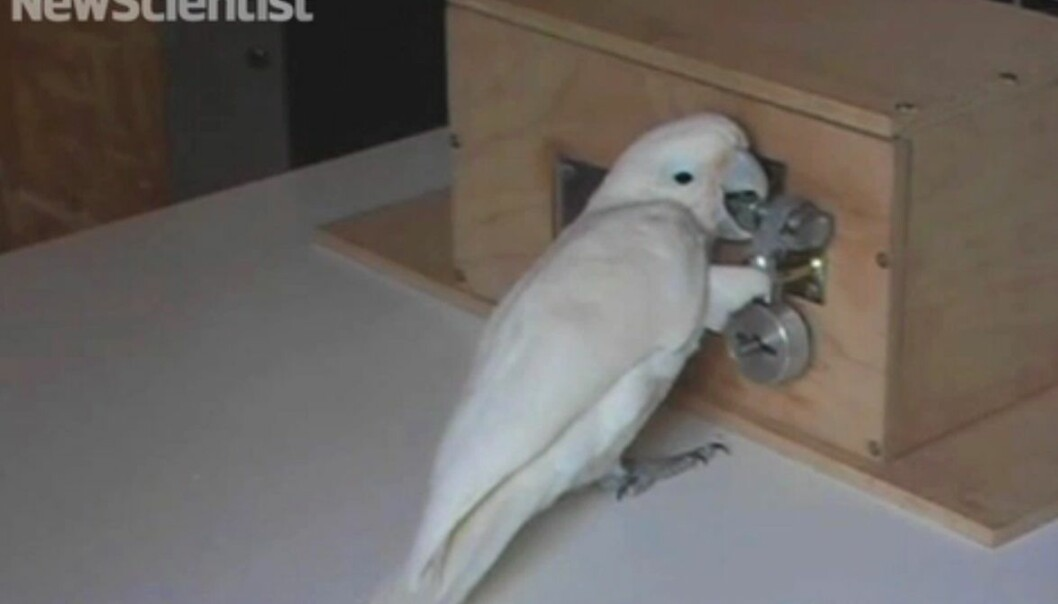 Kakaduen Pipin trengte under to timer på å knekke hemmeligheten bak femtrinnslåsen. (Bilde: skjermdump fra video, New Scientist)