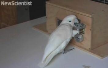 Kakaduen Pipin trengte under to timer på å knekke hemmeligheten bak femtrinnslåsen. (Foto: (Bilde: skjermdump fra video, New Scientist))