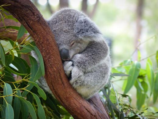 Hvorfor er det så få koalaer igjen i verden?