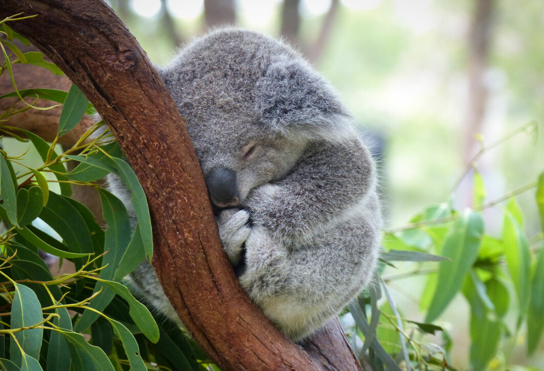 Koalaene lever – og sover – i eukalyptustrær i Australia. Men de har det ikke alltid like fredelig som her.