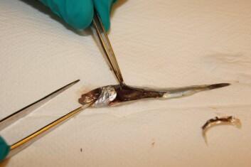 Prøvetakning av enkelt organer på sild er krevende da fisken er på liten. En del av fiskene hadde noe blødninger og væske i bukhulen. (Foto: Renate Johansen)