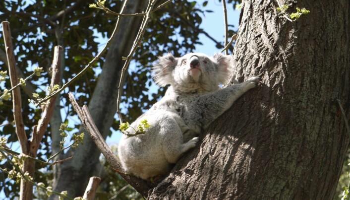 Visste du at koalabjørn ikke er en bjørn, men et pungdyr. Det er egentlig rart at vi kaller den koalabjørn.