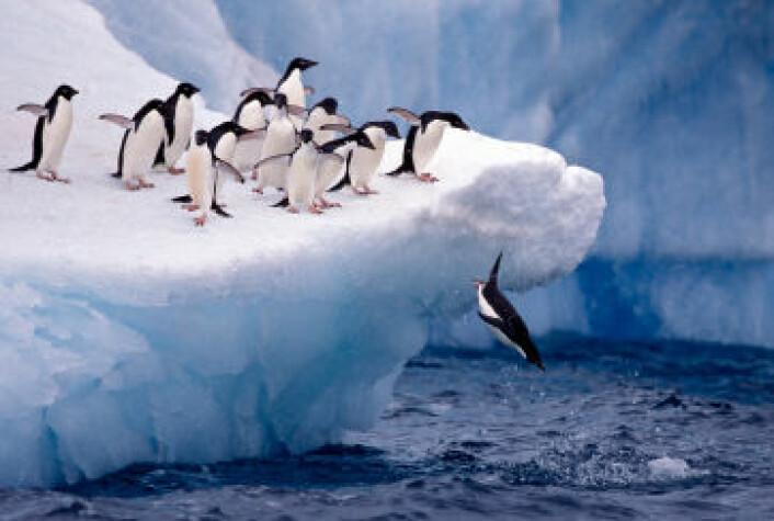 Pingvinens forfedre kunne fly, men over tid har svømmeegenskapene vært å foretrekke. (Foto: iStockphoto)