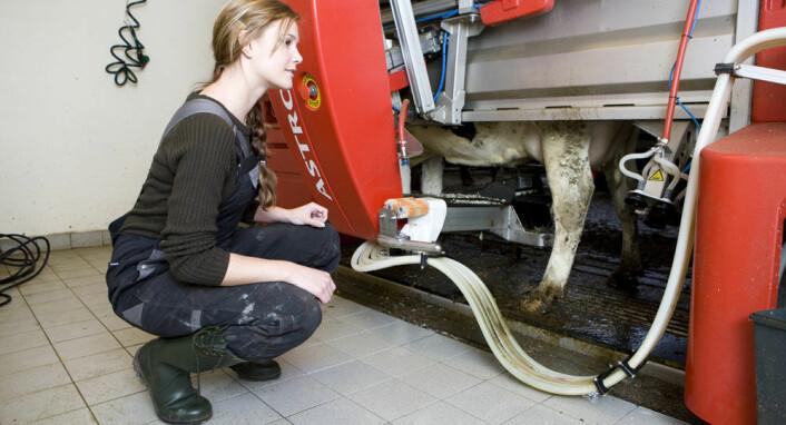I automatiske melkeroboter kan kua selv velge når den vil melkes uten at mennesker er involvert i det hele tatt. (Foto: Colourbox.com)