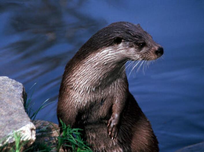 Skandinavisk oter har høye og stigende nivåer av miljøgiften PFOS på tross av forbud. (Foto: iStockphoto.com)