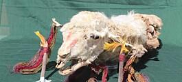 Lamaer som ble ofret av inkaene for 500 år siden er funnet