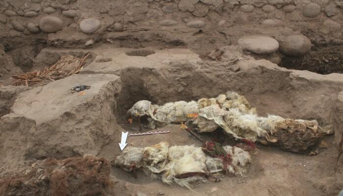 Lamaene var natulig mumifisert etter å ha ligget begravd i sand og jord.