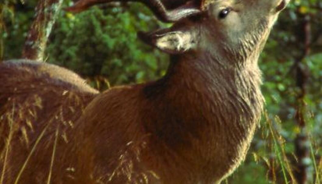 Hjorten bruker større områder og er ikke så stedegen som tidligere antatt. (Foto: Erling Meisingset)