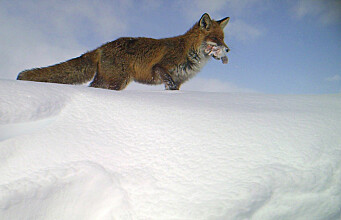 Red fox displaces endangered Arctic fox thanks to littering