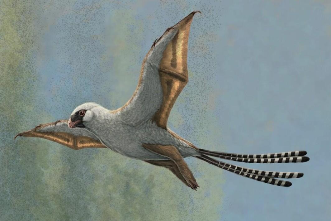 Ambopteryx utviklet vinger som kan minne litt om flaggermusens. De viste seg ubrukelige å fly med.