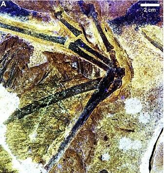 Ambopteryx sitt mislykkede forsøk på en fuglevinge.