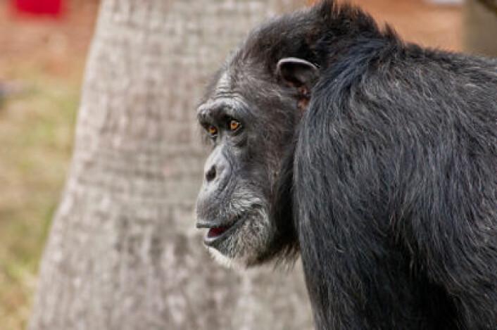 Sjimpanser bryr seg ikke om rettferdig fordeling, indikerer ny studie. (Illustrasjonsfoto: iStockphoto)