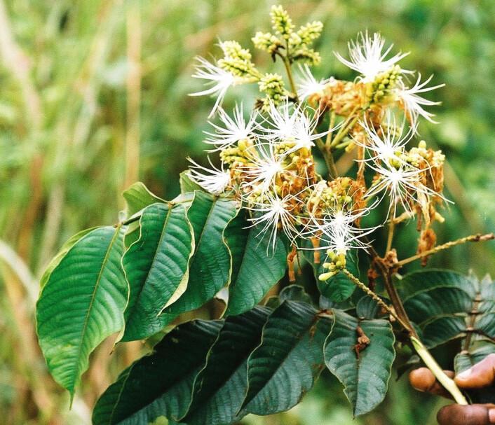 Det finnes over 300 ulike Inga-trær. Her ser du Inga edulis. (Foto: Paul Latham/Wikimedia Commons)